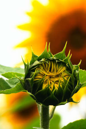 Young sunflower photo