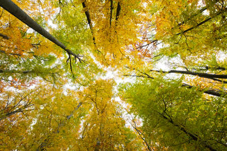 Looking up in a beech tree forest in autumn. Low angle shot. photo