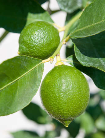 lemon tree: Fresh green limes hanging on a lemon tree.