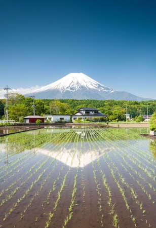 Seedlings growing on a rice field close to Mt Fuji Japan