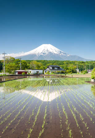 Seedlings growing on a rice field close to Mt Fuji Japan