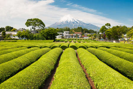 Fresh green tea field in a spring morning with Mt Fuji in the background  Stock Photo