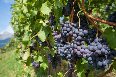 Growing black cabernet grapes in a vineyard  photo