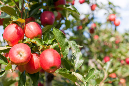 Bunch of red Gala apples on a apple tree. Stock Photo