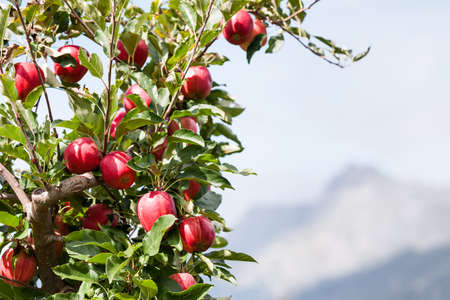 nature photography: Red apples on a tree with mountain and sky in the background.