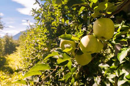 golden apple: Golden delicious apples, waiting for harvest.  Stock Photo