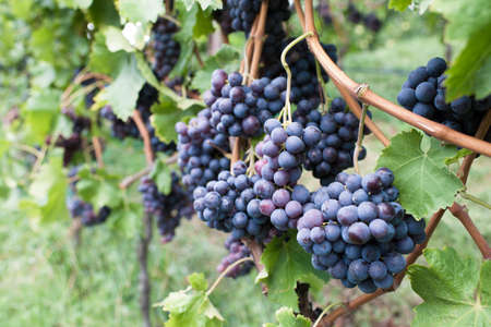 cabernet: Uvas Cabernet maduras en un vi�edo listo para la cosecha