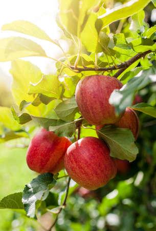 arbol de manzanas: Manzanas rojas maduras en un �rbol en el oto�o de sol de la tarde