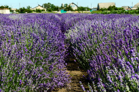 incredibly beautiful planted lavender going into the distance