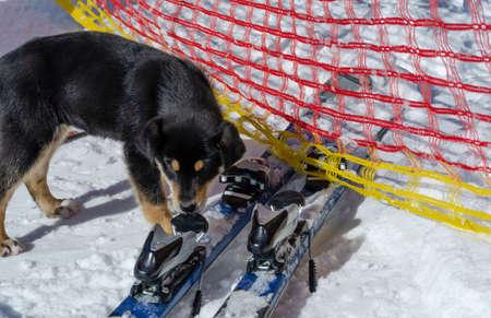 dog sniffing alpine skiing Karpyts ski resort active rest