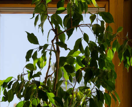ficus at home on a windowsill against a blue sky good background the sun shines through the leaves