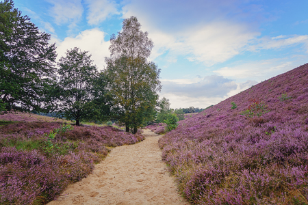 posbank: Morning in the heather fields in the Veluwe National Park, Netherlands.