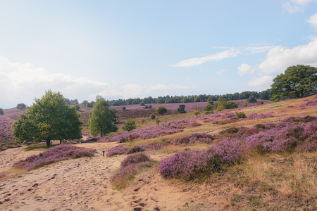 posbank: Foggy morning in the heather fields in the Veluwe National Park, Netherlands. Stock Photo