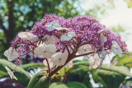 inflorescence: Inflorescence flower hydrangea in the sun.