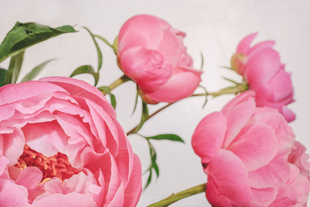 Peony in all its splendor against a white background Archivio Fotografico