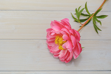 Peony in all its splendor against a wooden background