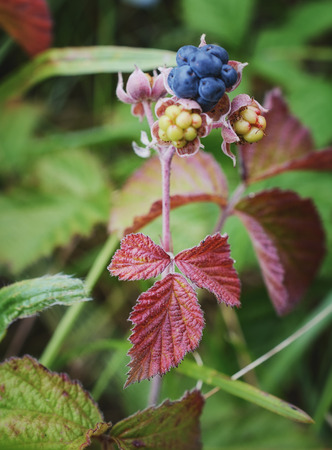 Sprig of blackberry with ripe and green berries and red leaves. Stock Photo