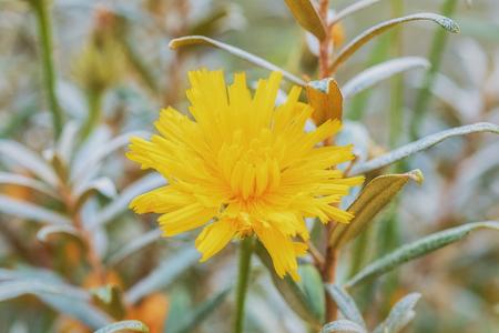 argousier: Flower dandelion on a background of a bush of sea-buckthorn.