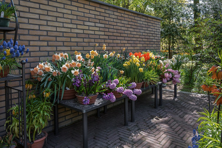 narcissist: Wall decorated with bulbous plants in pots in the Keukenhof park, Netherlands.