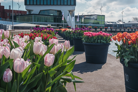 planters: Amsterdam, Netherlands, April 10, 2016: planters filled with tulips  during the Tulip Festival in Amsterdam with on the background the Adam tower. Editorial