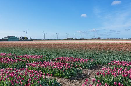noord: Multicolored tulip fields in the northern province of Noord-Holland, Netherlands