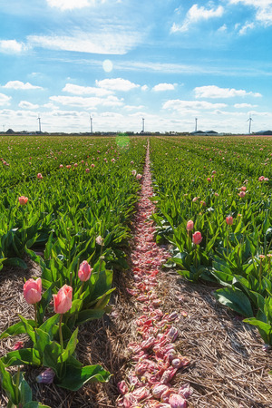 ranch background: Cut tulips in the aisle Stock Photo