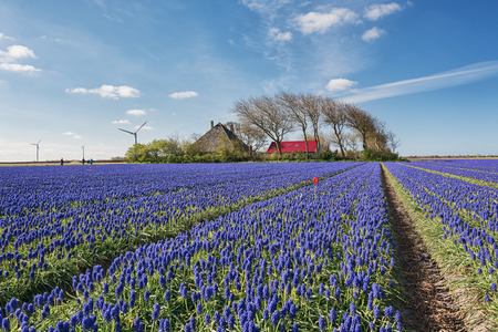Blue Muscari veld in de provincie Noord-Holland, Nederland. Stockfoto