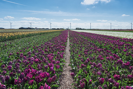 A field of purple tulips in the province of North Holland, Netherlands.