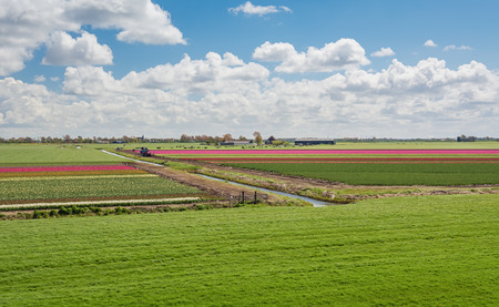 One hundred percent Dutch, grazing cows beside the blooming tulip fields in the polder.