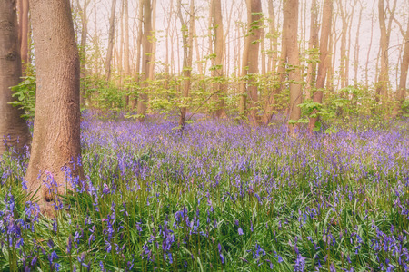 Beautiful and colorful wild or forest hyacinths in the forest in The Netherlands