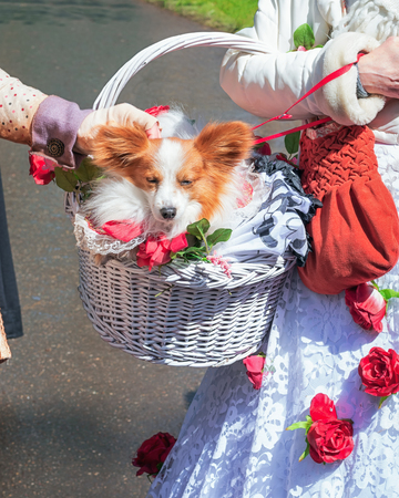 cufflink: Cute chihuahua is worn in a beautifully decorated basket