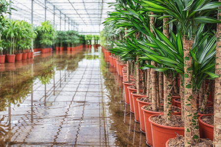Draconias that are grown in a greenhouse in the Netherlands Stock Photo