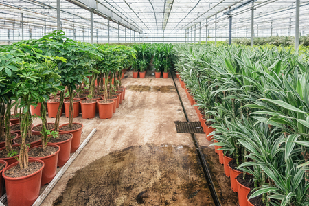 Draconias and other houseplants that are grown in a greenhouse in the Netherlands