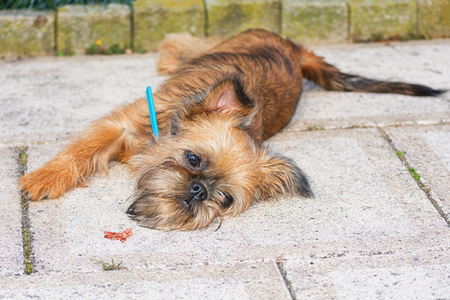 Dear puppy Brussels Griffon poses for the camera in the garden Stock Photo