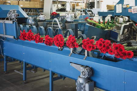 Berkel en Rodenrijs, Netherlands, April 2, 2017:  Red gerberas are ready on the assembly line to be packed