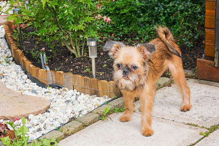 Dear puppy Brusselse Griffon poses for the camera in the garden