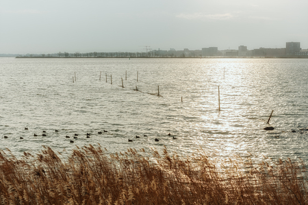 A group of coots and fishing nets in the lake Buiten IJ with the Amsterdam district IJburg in the background.