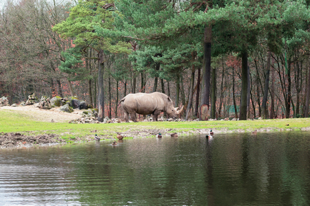 Rhinoceros on the edge of puddle in Burgers' Zoo in The Netherlands Reklamní fotografie