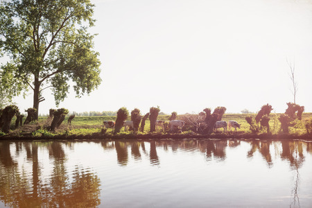 Row of cut willows along the river Linge in the Betuwe region in The Netherlands with a herd of cows walking in between