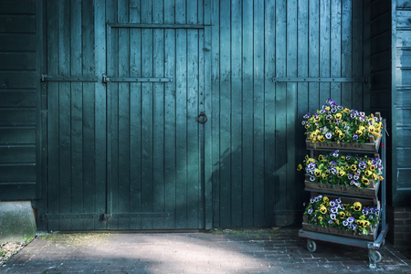Three crates filled with beautiful flowering violets for a large green wooden barn door somewhere in The Netherlands