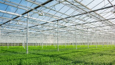 Huge greenhouse filled with newly planted chrysanthemums and santinis in The Netherlands