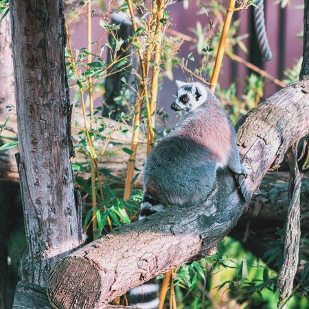 Ring-tailed lemur on a tree trunk in the rainforest in the covered park the Orchideeën Hoeve in The Netherlands