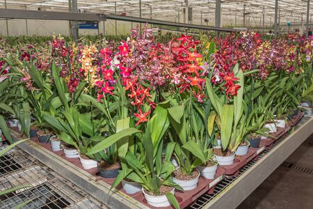 Flowering branch of orchids in a greenhouse somewhere in The Netherlands