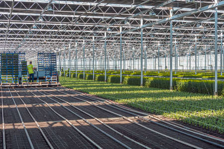 Nootdorp, The Netherlands, April 7, 2019: Staff busy planting young chrysanthemums in a huge greenhouse Editoriali