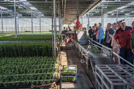 Nootdorp, The Netherlands, April 7, 2019: People view the semi-automatic process of cut-off santinis in a huge greenhouse