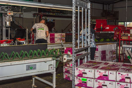 Nootdorp, The Netherlands, April 7, 2019:  Flowering branch of chrysanthemums in a greenhouse packed and ready for transport Editoriali
