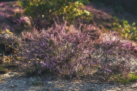 Heather shrub in the light of the setting sun in The Netherlands