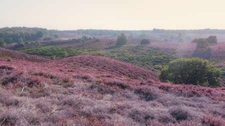 The heather fields in the Veluwe National Park during sunset in The Netherlands