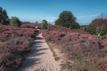 Sandy path through the heaths in the Veluwe National Park during sunset in The Netherlands Archivio Fotografico