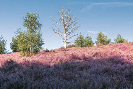 Dead tree in the heather fields in the Veluwe National Park during sunset in The Netherlands
